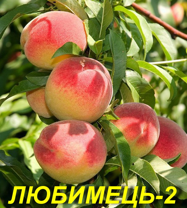 "Саженцы персика ""Любимец 2"""