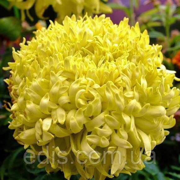 Чорнобривці високі гігантські Фантастік жовті 0,3 г, насіння Яскрава