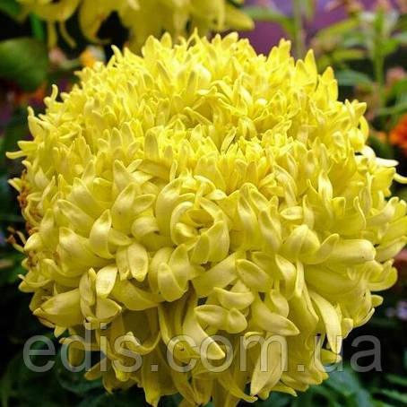 Чорнобривці високі гігантські Фантастік жовті 0,3 г, насіння Яскрава, фото 2