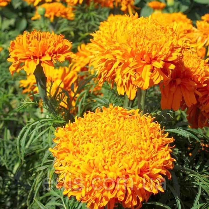 Чорнобривці високі гігантські Фантастік помаранчеві 0,3 г, насіння Яскрава