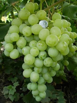 Виноград Антоний великий, фото 2