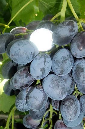 Виноград Блек гранд, фото 2