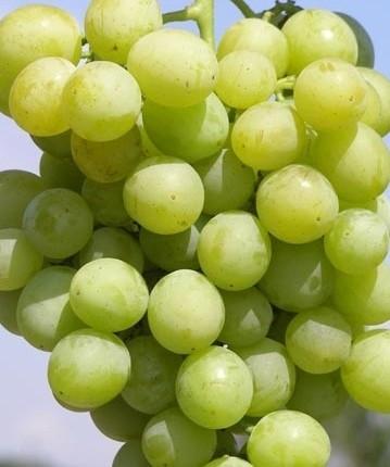 Виноград Звездный