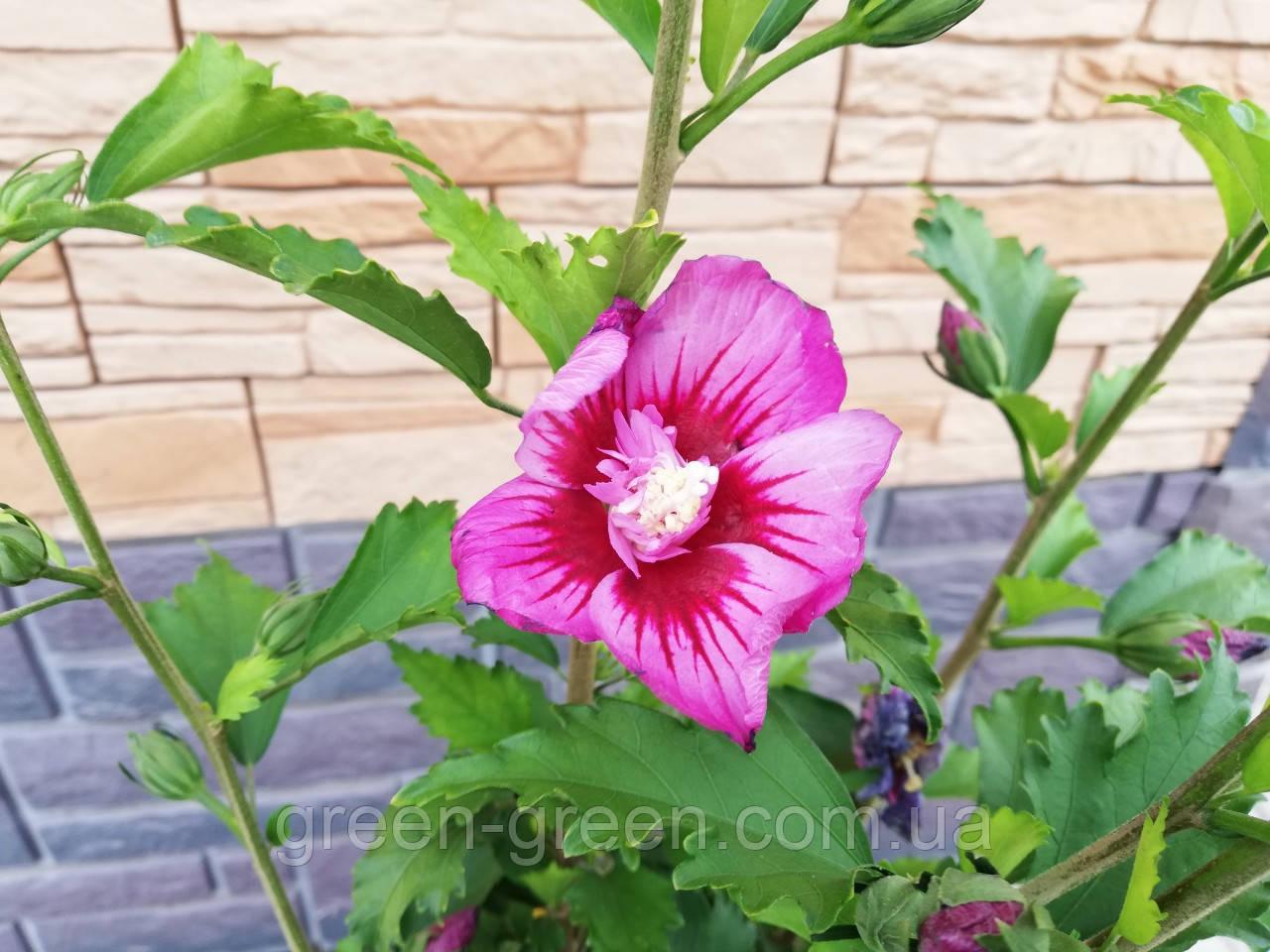 Гібіскус сирійський Purplel махровий