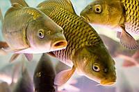 «Фенбендазол» и «Альбендазол» как средство при гельминтозах рыб