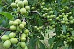 Грецкий орех Идеал трехлетний, фото 2