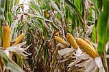 Кукуруза кормовая фураж, фото 3