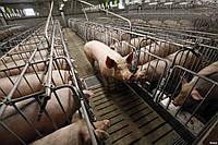 Свинарник по БМЗ технологии на 500 голов