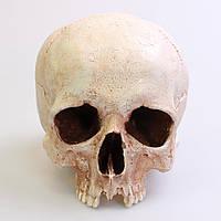 Череп человека, гипсовый, слепок с натурального из Костницы, Чехия, для декораций, реквизит, пособие, фото 1
