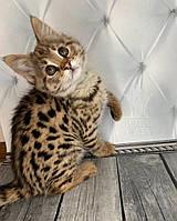 Кошечка Саванна Ф1 (blue collar), родилась 10/01/2020 в питомнике Royal Cats, фото 1