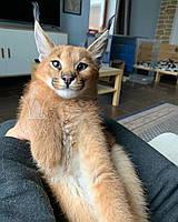 Котёнок Каракал, девочка родилась 19/10/19 в питомнике Royal Cats