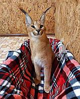 Котёнок Каракал, девочка родилась 19/10/19 в питомнике Royal Cats, фото 1