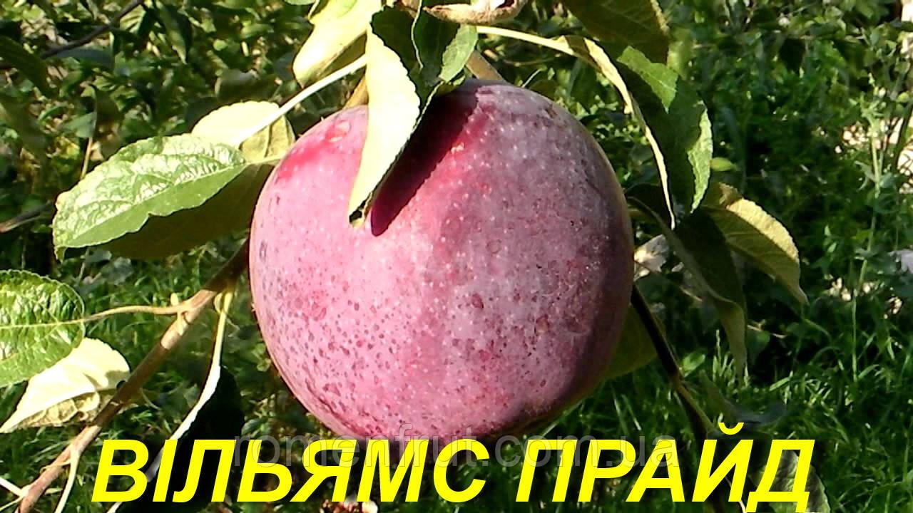 """Саженцы яблони """"Вильямс Прайд"""""""