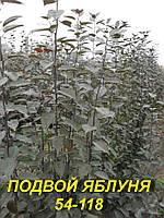 """Полукарликовый подвой яблони """"54-118"""" (5 мм)"""
