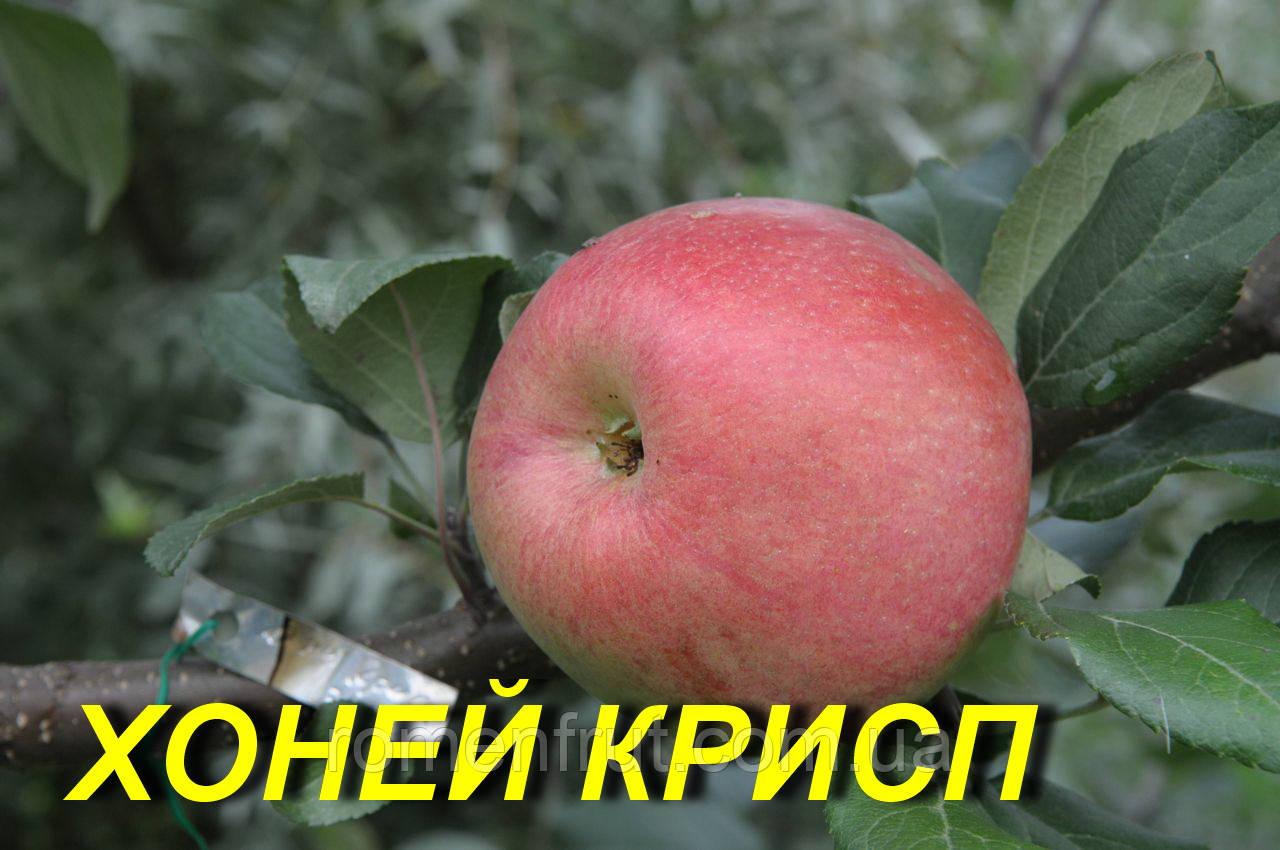 "Саженцы яблони ""Хоней Крисп"""