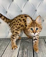 Кошечка Саванна Ф1, родилась 05/01/2020 в питомнике Royal Cats, фото 1