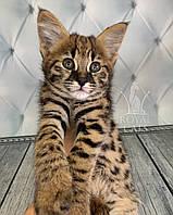 Кошечка Саванна Ф1, родилась 05/01/2020 в питомнике Royal Cats