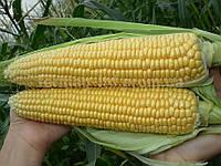 Семена сахарной кукурузы Тести Дрим F1 (5000 семян) Agri Saaten