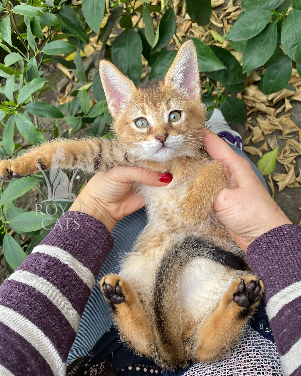 Кошечка Чаузи Ф2 (yellow collar) рождена 12.01.2020 в питомнике Royal Cats. Украина, Киев