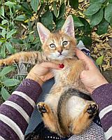 Кошечка Чаузи Ф2 (yellow collar) рождена 12.01.2020 в питомнике Royal Cats. Украина, Киев, фото 1