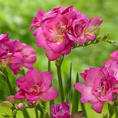 Фрезия махровая Rose