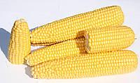 Семена сахарной кукурузы Вондерленд F1 (5000 семян) Agri Saaten
