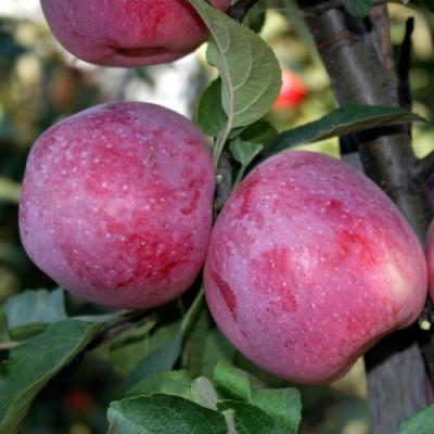 Яблоня Флорина, саженец