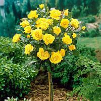 Троянда на штамбі Ландора