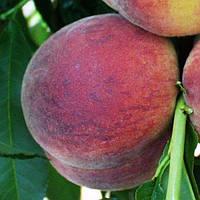 Саженцы персика Харбингер (созревание-начало Июля)