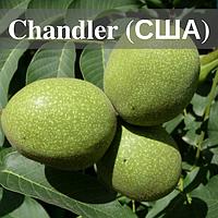 Саженцы ореха Чандлер (СHANDLER) / (Привитый)