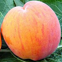 Саженцы персика Вайн Голд Т 5 (созревание-начало Августа)