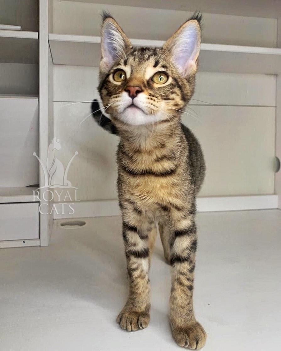 Кошечка Чаузи Ф2, рождена 10.12.2019 в питомнике Royal Cats. Украина, Киев