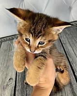 Котёнок Чаузи Ф1, рожден 16.01.2020 в питомнике Royal Cats. Украина, Киев