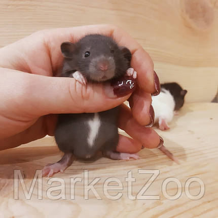 Крыски дамбо,мальчик,возраст 1,5мес., фото 2