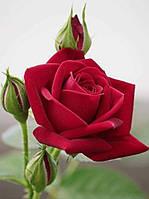 Отдушка Роза, 10мл