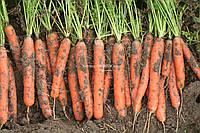 Семена морковь ЛЮСИЯ F1 (25 000 семян)