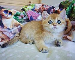 Котёнок британской шиншиллы, рожден 06.01.2020 в питомнике Royal Cats. Украина, Киев