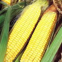 Семена кукурузы ПИВИХА ФАО 180
