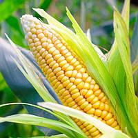 Семена кукурузы ПОЧАЕВСКИЙ 190 МВ ФАО 190