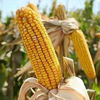 Семена кукурузы ДНЕПРОВСКИЙ 181 МВ ФАО 180