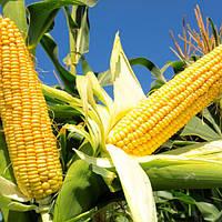 Семена кукурузы ЗАПОРОЖСКИЙ 333 МВ ФАО 330