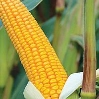 Семена кукурузы СОЛОНЯНСКИЙ 298 СВ ФАО 310, фото 1