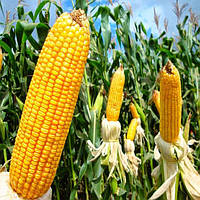 Семена кукурузы ВЫМПЕЛ МВ ФАО 270