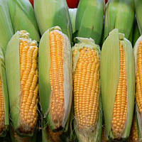 Семена кукурузы ДНЕПРОВСКИЙ 289 СВ ФАО 290