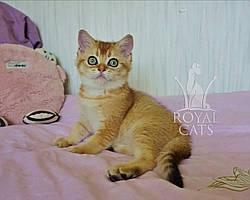 Кошечка шотландская прямоухая шиншилла, рождена 29.11.2019 в питомнике Royal Cats. Украина, Киев