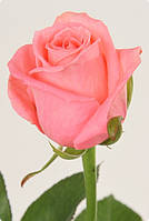 Роза Карина 50см