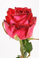 Роза Чири 50см