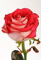 Роза Ирина 50см