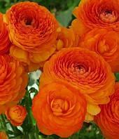Лютики Orange, 5шт.