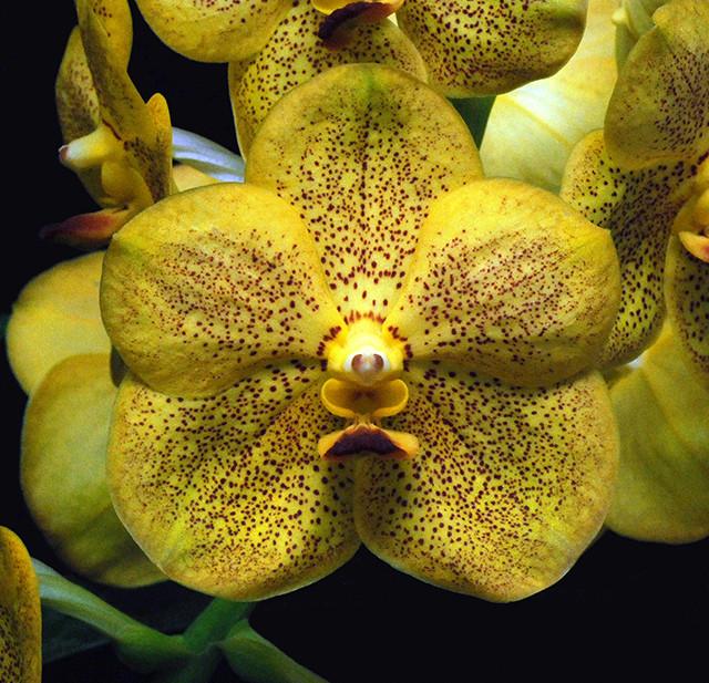 Орхидея ванда, подросток без цветов. Сорт Vanda Somsri thai spot
